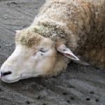 羊の脳は食べられる!?味はどんな味なの?