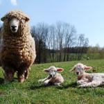 羊の革製品の特徴とは!?