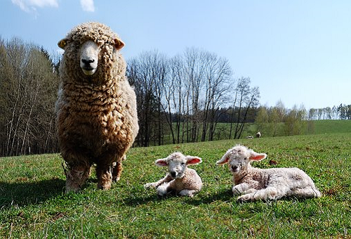 羊 革 特徴