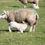 羊のミルクは栄養がいっぱい!?味はどうなの!?