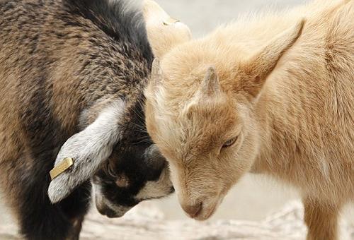アイスランド 羊 種類