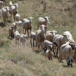 羊の年齢は人間に換算すると何歳になるの!?