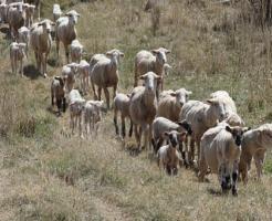 羊 年齢 人間