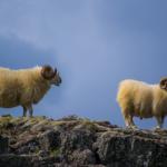 羊の毛は伸び続けるの!?野生の羊の毛はどうするの?