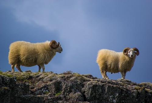 羊 毛 伸び続ける 野生