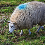 羊が食べる草の種類や食べ方!食べる量とは?