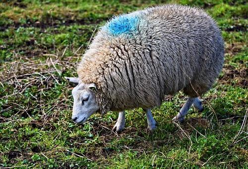 羊 草 種類 食べる量 食べ方
