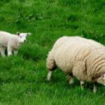 羊1頭の毛の重さはどれくらい!?