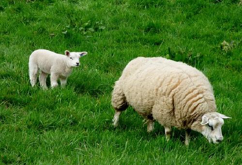 羊 毛 重さ