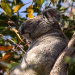 コアラの鳴き声は怖い!?鳴き声の特徴について!
