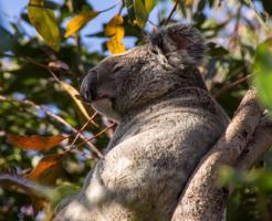 コアラ 鳴き声 怖い