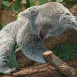 日本に野生のコアラはいるの!?日本にいる頭数は?
