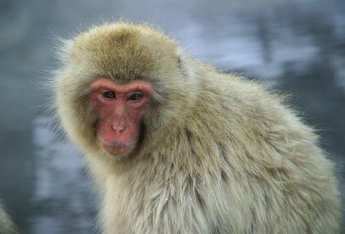 猿 種類 大きい