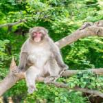 日本に生息する野生の猿の種類は何!?数はどれくらいいるの!?