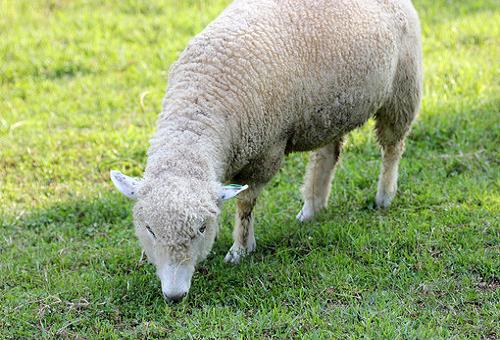 羊 家畜 日本
