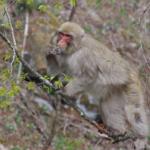 野生の猿は何を食べ物にして生活しているの!?