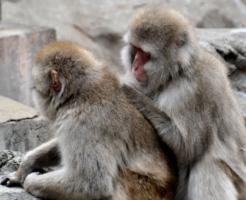 猿 毛づくろい 理由