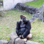 ゴリラとサルとチンパンジーの違いとは!?