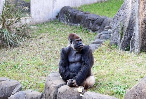ゴリラ サル チンパンジー 違い
