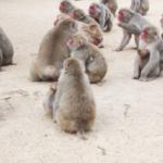 野生の猿の分布は!?日本ではどこにいるの!?