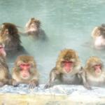 猿が温泉に入るのは一体なぜ!?