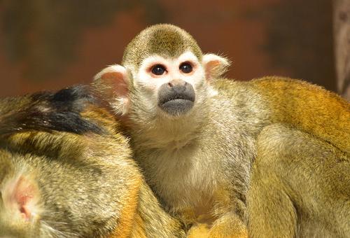 猿 ペット 噛む