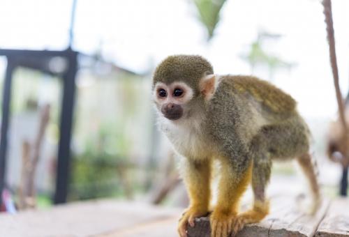 猿 ペット 寿命