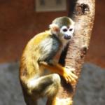 ペットとして飼える猿の種類と値段とは!?