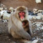 猿の出産!へその緒はどうしてるの!?