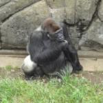 日本でゴリラに会える動物園はどこ!?