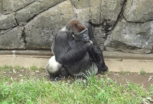 ゴリラ 動物園 日本