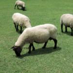 羊が群れを作る理由とは何!?
