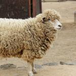 羊の干支の由来や意味は一体何!?