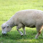 ニュージーランドで飼育される羊の種類や数は?