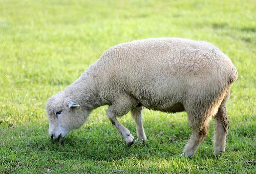 羊 種類 ニュージーランド