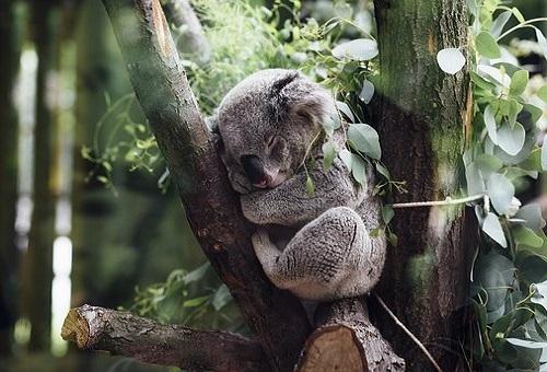 コアラ 動物園 日本 触る