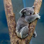 コアラが絶滅の危機に!?その理由とは!?