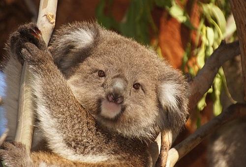 コアラ 握力 危険