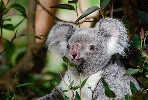 コアラ 赤ちゃん 餌