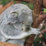 コアラは何処にいるの!?生息地について!
