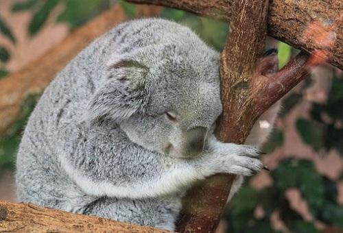 コアラ 生息 場所