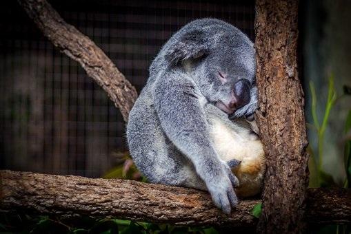 コアラ 寝る 理由 睡眠時間 ナマケモノ