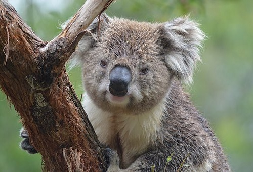 コアラ 歯 本数 色 黒