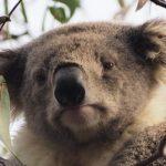 コアラがクラミジアに感染する理由は何!?