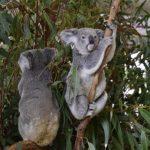 野生のコアラってオーストラリアしか生息してないの?生息数は!?