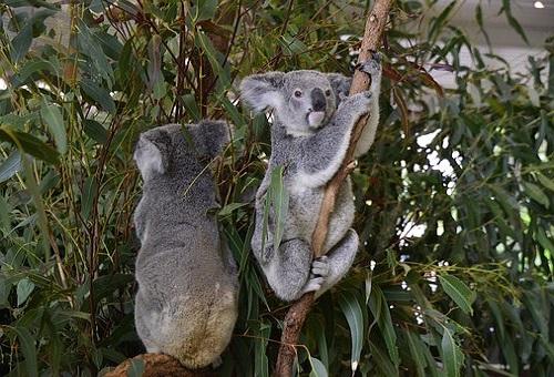コアラ 野生 オーストラリア