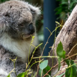 動物園のコアラが減少している!?原因は!?