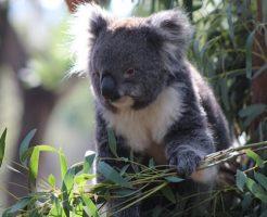 コアラ 袋 臭い オス