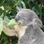 コアラはユーカリ以外の餌は食べないの!?