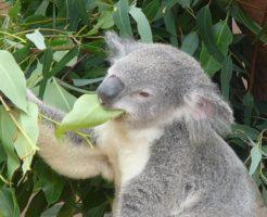 コアラ 餌 ユーカリ以外